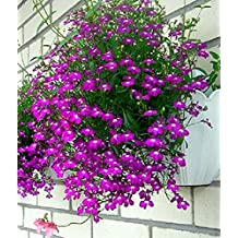 Seeds Purple Trailing Lilovyy (Lobelia pendula) Annual For Hanging Baskets
