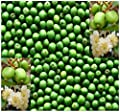 4 Packs x 50 HARDY KIWI Actinidia arguta SEEDS - fruit contains up to 5 times the vitamin C content of blackcurrants - VERY COLD HARDY To Zone 4 - By MySeeds.Co
