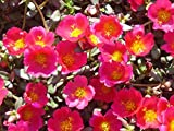 1000 ''Gruner'' Red Purslane Seeds / Specialty Greens