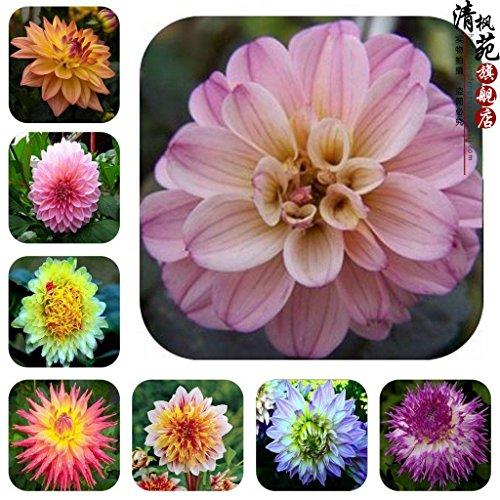 Growing Dahlia Flowers (Dahlia bulbs Mix,dahlia flower not dahlia seeds bonsai flower bulbs,Symbolizes courage and lucky,home garden plant 10 bulbs)