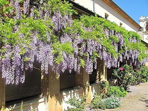 Gift 5 JAPANESE WISTERIA Floribunda Flower Purple Ornamental Vine Climber Seeds