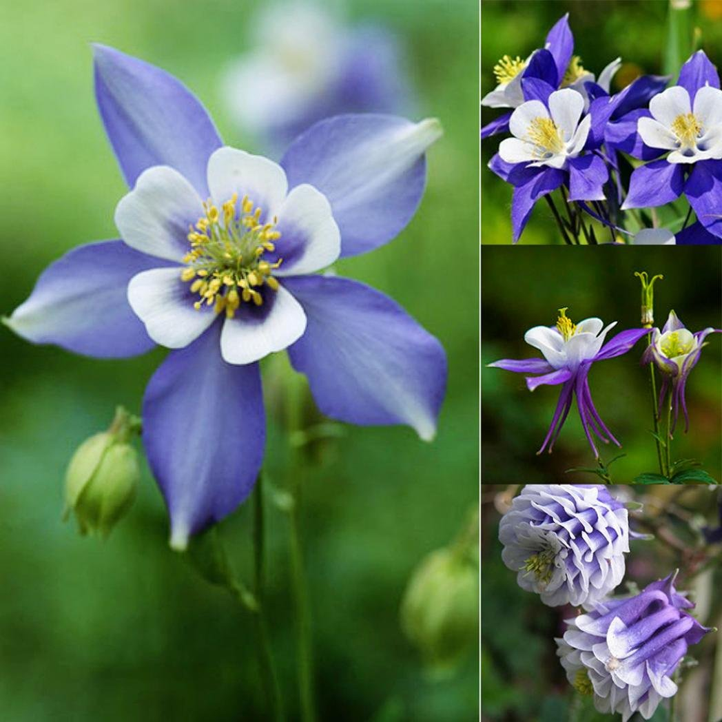 Amazon bluelans 50pcs aquilegia seeds blue columbine double amazon bluelans 50pcs aquilegia seeds blue columbine double flower plant romantic garden flower garden outdoor izmirmasajfo
