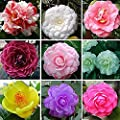 100 Mixed Colors Camellia Seeds, Camellia Flowers Seeds Garden Flower Seeds