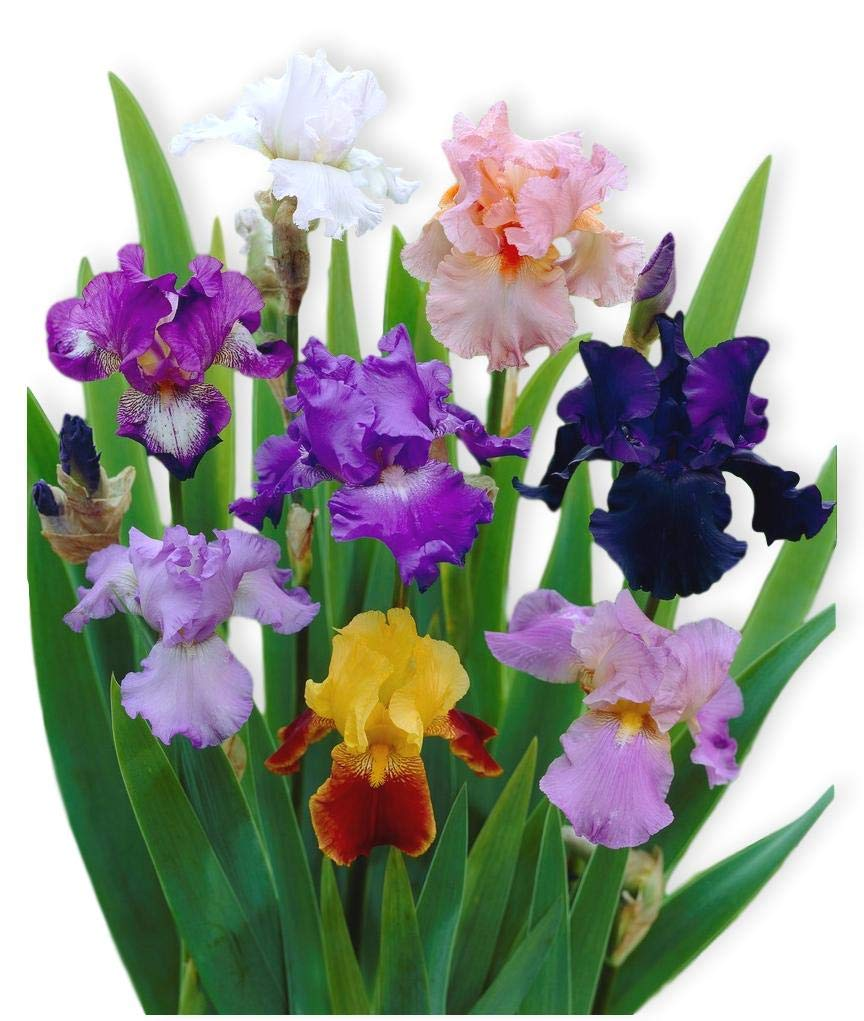 Reblooming Bearded Iris - 3 Large Rhizomes - Colorful Cocktail Mix - Blooms Twice in One Year   Ships from Easy to Grow by Easy to Grow
