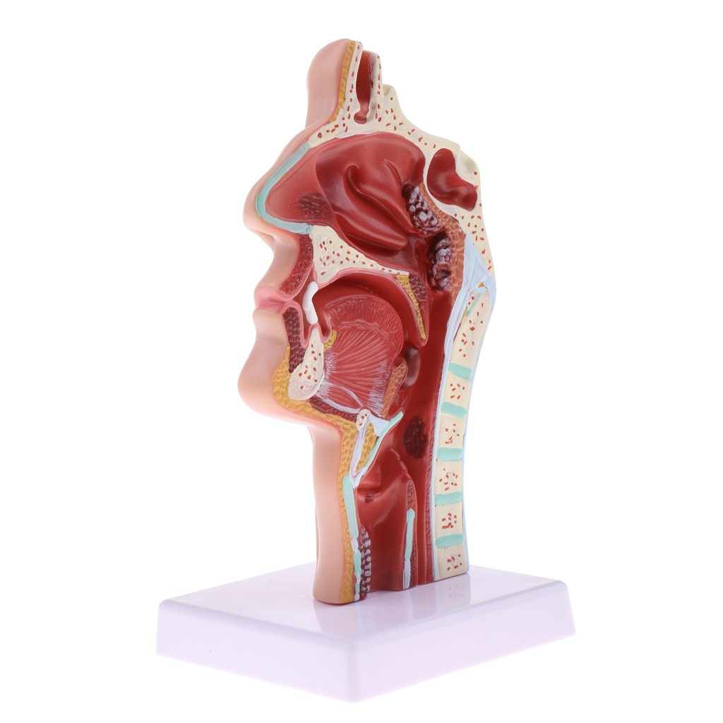 Fenteer Längsschnitt von Menschlicher Nasenhöhle Pathologie ...