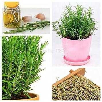 Pinkdose® Herb Seeds Home Depot - Semillas de hierbas culinarias Major Pack Rosemary Seeds Kitchen