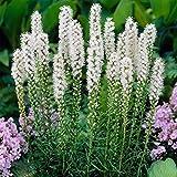 Flower Seeds Liatris Spicata White Seeds from Ukraine
