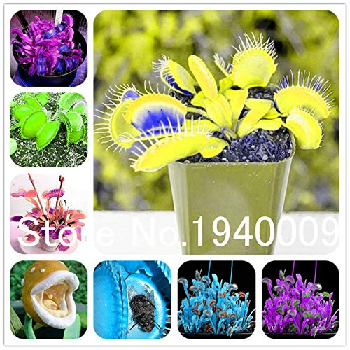 (TRUST.STORE Flytrap 100Pcs Succulent Insect Catching Plant Enchantress Carnivorous Plant Desk Pot Bonsai Seedsplants Slurperon Plant Flowers (24))