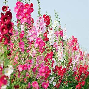 100 Pcs Hot Hollyhock Seeds (Alcea Rosea 'Nigra') Mixed Color Flower Outdoor Plant Seeds For Garden Home Beautifying Decoration 3