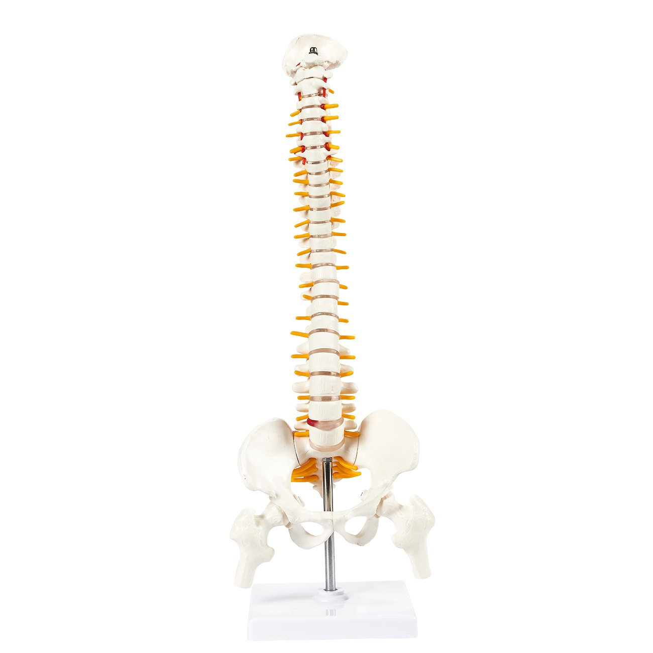 Spine Model - Human Vertebra Model, Vertabral Column Anatomy Model for Chiropractor and Osteopath Office, 5.1 x 17.5 x 4.7 Inches Juvale