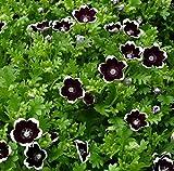 Black Nemophilia 50 Seeds - Gothic - Annual