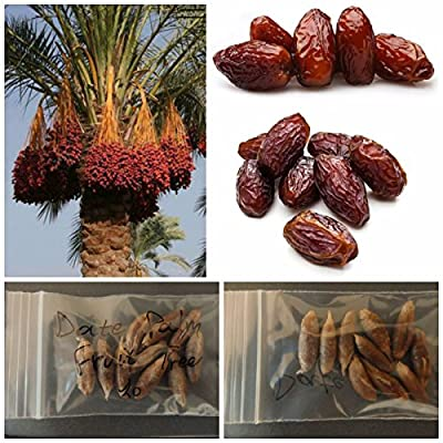 Date Palm Tree ''Phoenix Dactylifera'' ~10 Top Quality Seeds - Exotic - Tropical