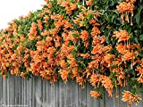 Chinese Orange Pyrostegia venusta Perennial Climbing Plant Seeds, Professional Pack, 5 Seeds / Pack