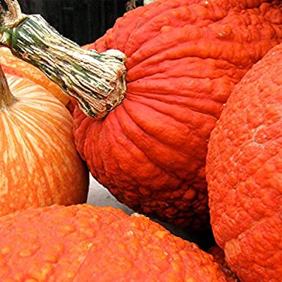 Pumpkin Garden Seeds - Red Warty Thing Variety (treated) - Non-GMO, Heirloom Decorative and Edible Pumpkins - Bright Orange