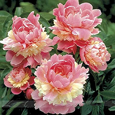 Rare Heirloom Sorbet Robust Colorful Double Blooms Peony Tree Seeds, Professional Pack, 5 Seeds / Pack, Easy Care Plants : Garden & Outdoor