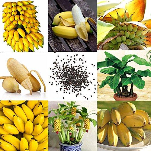 Wintefei 100Pcs Rare Dwarf Banana Tree Seeds Mini Bonsai Fruit Exotic Home Garden Plants
