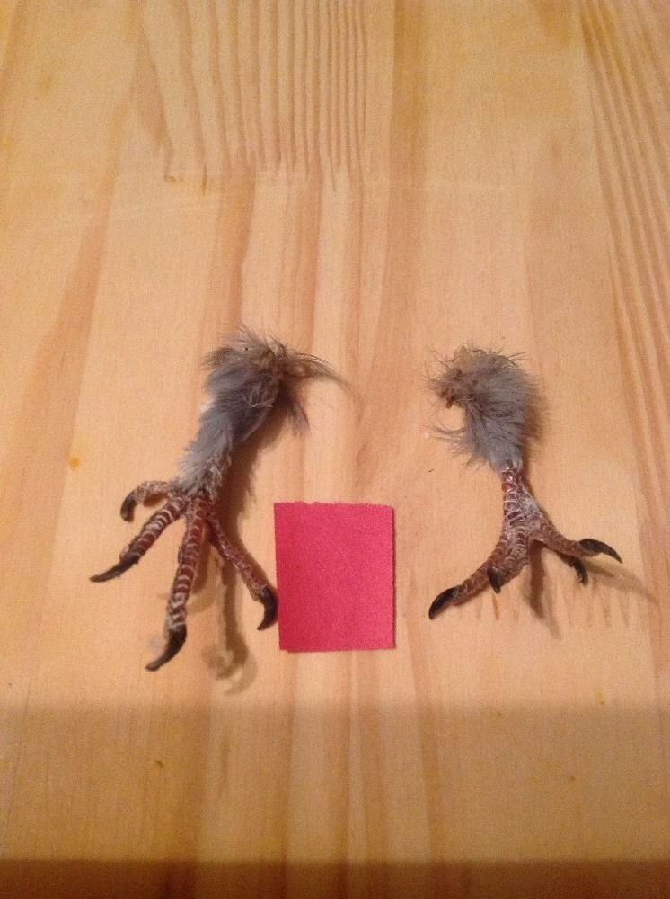 2 Real Pigeon Feet Taxidermy Arts Witchcraft Spell Voodoo Hoodoo by TruBlu Supply