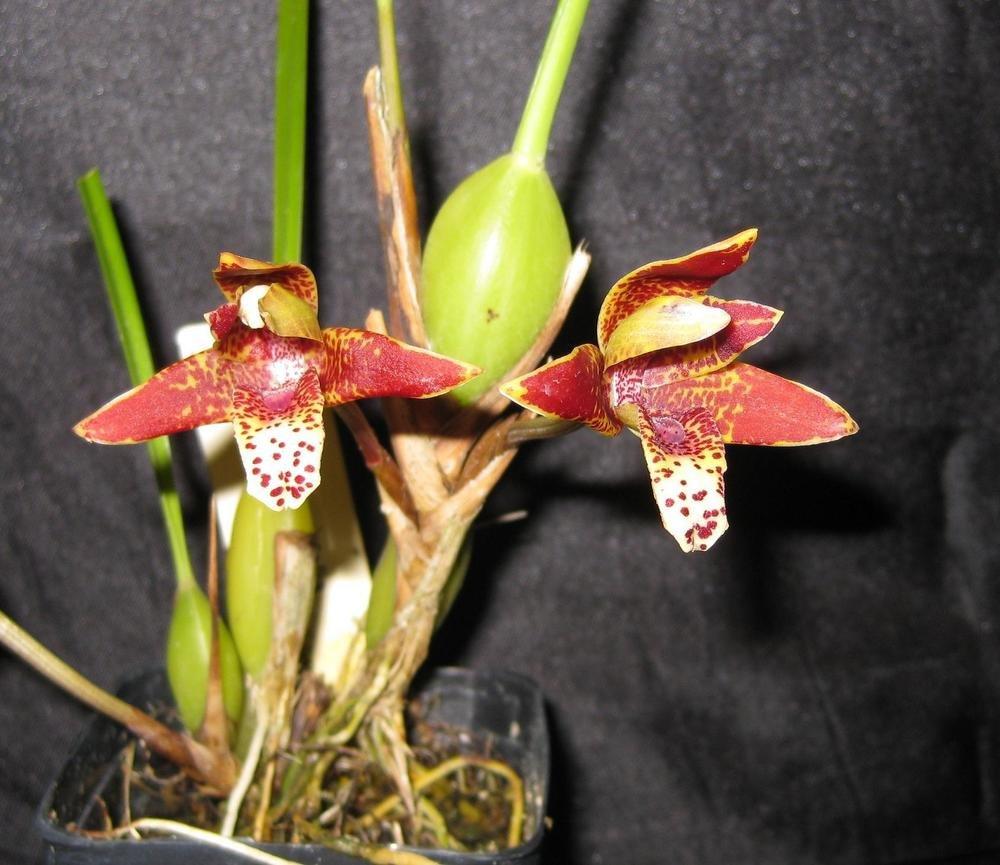 Maxillaria tenuifolia- Super Fragrant! COCONUT Orchid! ''Grows like a weed!''