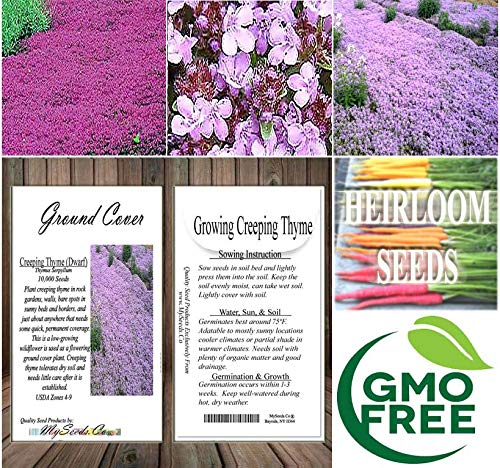 Dwarf Creeping Thyme Herb (220,000+) Seeds - Thymus Serpyllum - Excellent Ground Cover - Non-GMO Seeds by MySeeds.Co (Dwarf Creeping 1oz - 1,000 sq ft) by MySeeds.Co - Flower Seeds by the LB (Image #4)