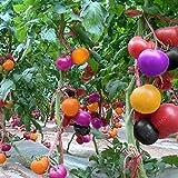 100pcs Rare Rainbow Tomato Seeds Ornamental Pot Organic Heirloom Vegetables herb Food for Home Garden Plant Seeds