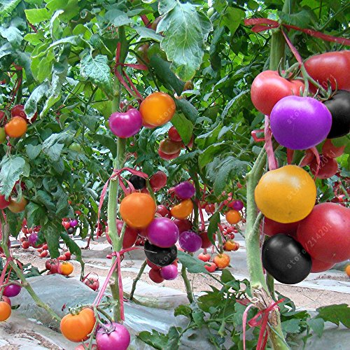 - 100pcs Rare Rainbow Tomato Seeds Ornamental Pot Organic Heirloom Vegetables herb Food for Home Garden Plant Seeds