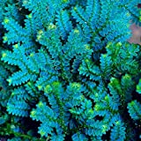 WANCHEN Bonsai 50PCS Selaginella Uncinata Bonsai Indoor Plants Flowers New Arrival DIY Home Garden Flower Plant (Seeds not Plants)