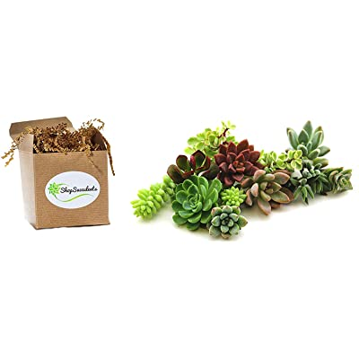 Shop Succulents | Assorted Collection of Live Succulent Cuttings, Hand Selected Unique Variety Pack of Cut Succulents| Collection of 10 : Garden & Outdoor