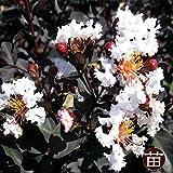 サルスベリ 苗 銅葉サルスベリブラックパール ライトピンク ポット苗 庭木 落葉樹 シンボルツリー