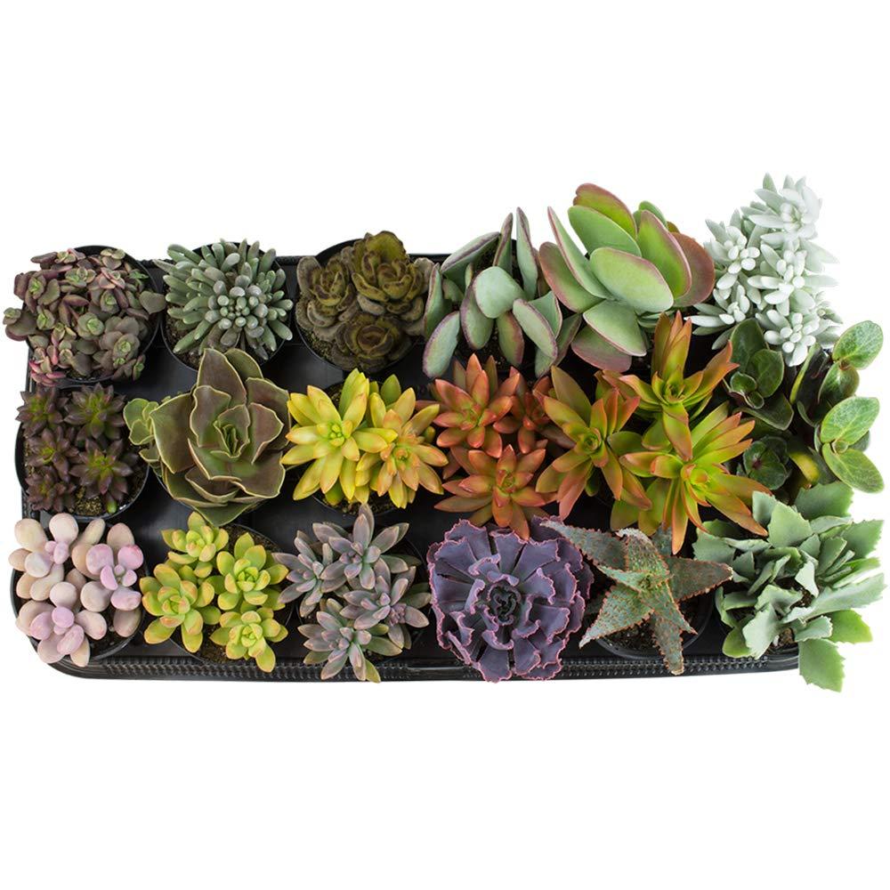 Altman Plants Assorted Live Tray large succulents bulk for planters, 3.5'', 18 Pack by Altman Plants (Image #2)