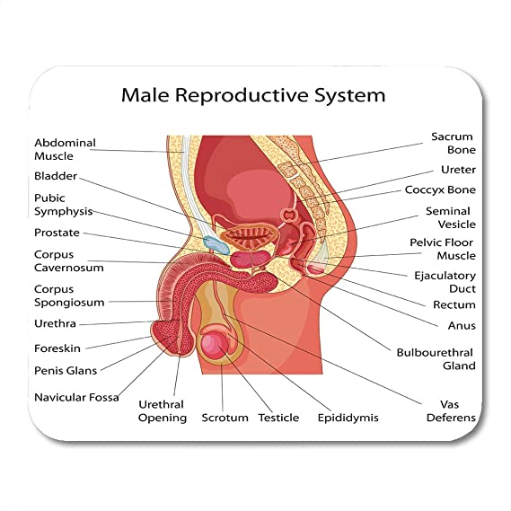 Amazon Emvency Mouse Pads Reproduction Education Chart Of