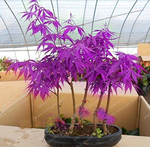 30-pcs-purple-maple-seeds-rare-in-the-world-canada-is-a-beautiful-purple-maple-bonsai-plants-trees-p