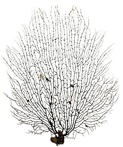 Natural Sea Fan - Black, 10-13