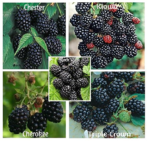 Blackberry Seed Mix 750 Seeds ()