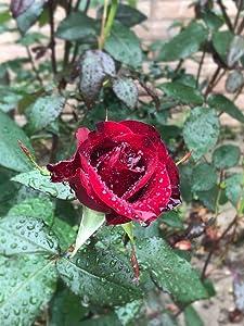 50+ Strong Fragrant Red Rose Flowers Seeds Bonsai Bush Shrub Garden