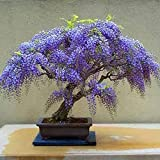 Wisteria seeds, bonsai Wisteria sinensis tree 100% true seed