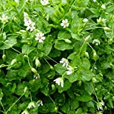Chickweed Seeds (Stellaria media) 100+ Culinary Edible Greens Medicinal Herb Seeds