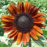 2018 Hot Sale Terracotta Sunflower Seeds, Professional Pack, 15 Seeds/Pack, Stunning Colors Pollen Free Lovely Cut Flowers #NF993