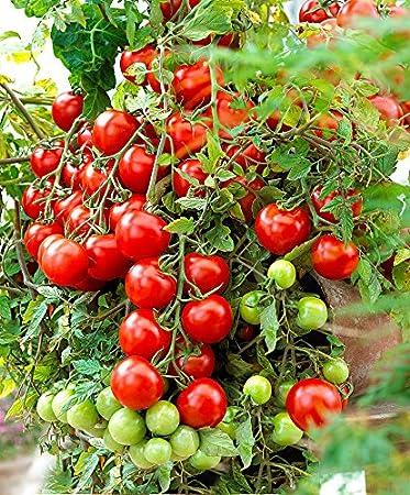 Green World Arka Rakshak F1 Hybrid Tomato Seeds 10 Gms Amazon In