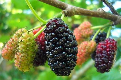Amazon.com: 120 austree híbrida árboles de sauce – listo ...