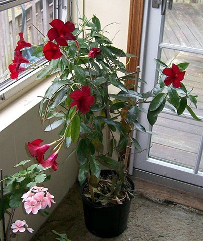 Red Brazilian Jasmine Plant Indoors Out Mandevilla 4