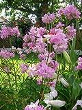 Helens Garden Saponaria Officinalis Bouncing Bet Soapwort Flowers - 25+ Seeds