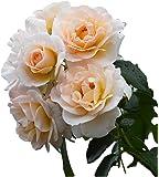 バラ苗 シリウス 国産大苗6号スリット鉢 つるバラ(CL) 返り咲き 中輪 白系