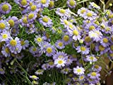 800 Swan River Daisy Brachyscome Flower Seeds Yard Garden TkLucky72
