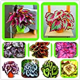 100 Seeds/Pack Beautiful Begonia flower seeds flowers potted bonsai garden courtyard balcony Coleus seeds