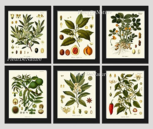 Herbs and Spices Botanical Set of 6 Prints Antique Beautiful Italian Olives Nutmeg Peanuts Walnut Anise Sweet and Chili Red Pepper Home Room Decor Wall Art Unframed ()