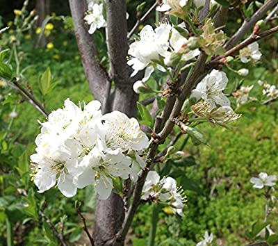 Methley Plum Tree Semi-Dwarf - Healthy Established 1 Gallon Trade Pot - 1 each