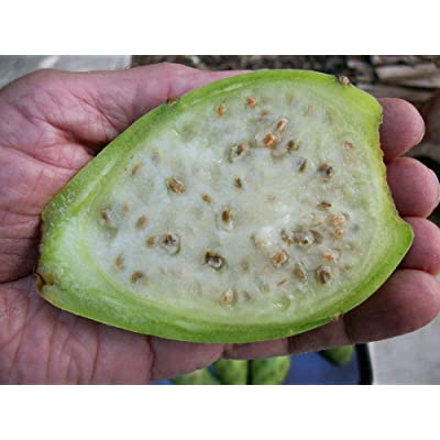 Giant White Opuntia Prickly Pear Nopal Spineless Cactus-Juicy & Sweet 10 Seeds : Garden & Outdoor