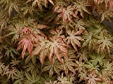 Peaches and Cream Japanese Maple - 3 Year Tree - Trade Gallon Pot