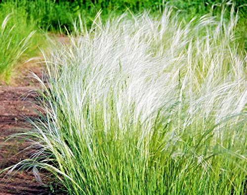 Mexican Feather Grass - MEXICAN FEATHER GRASS, 102 SEEDS, STIPA TENUISSMA, HARDY, LOW WATER, EZ TO GROW