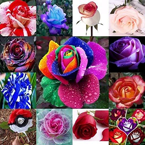 Casavidas Bonsai 100pcs Rainbow Rose Flower Four Seasons Sowing Roses Easy to s: ()